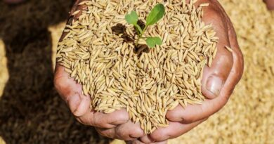 Hybrid Rice Seeds Market Size to Hit USD 5.43 Billion by 2027; Rising Concerns Regarding Food Security to Fuel the Market, Says Fortune Business Insights(TM)